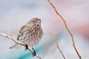 .:Snowy Finch II:. by RHCheng