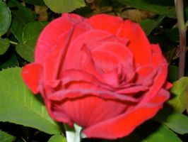 Love is the red the rose... by hollyluvsarty