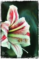 red striped lily by TlCphotography730