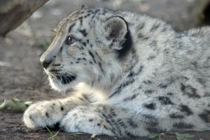 Snow Leopard is waiting by Vertor