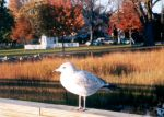 Seagull at Park by emecee
