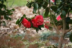 view to camellias 5 by ingeline-art