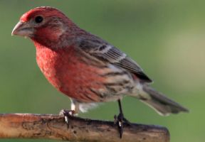 Purple Finch 02 by Thy-Darkest-Hour