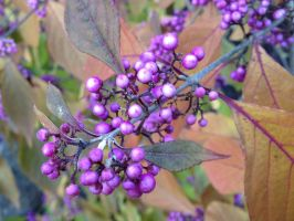 Purple Autumn Berries by MogieG123