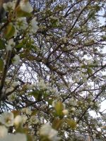 Pear Blossoms4 by lampshaded-stock