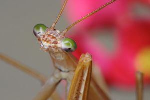 Mantis by Drumlanrig