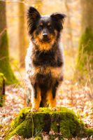 Herding Dog / Sheperd Autumn Light I by LuDa-Stock