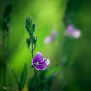 spring beauty queen by ildiko-neer
