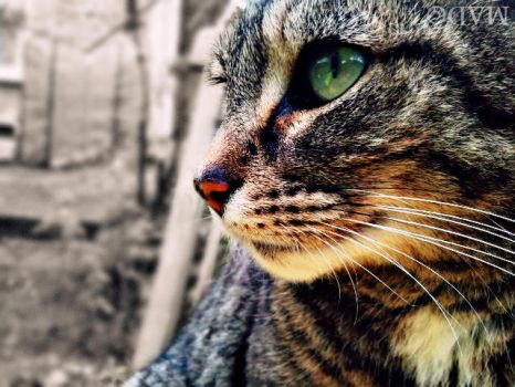 Cat Stare. by Meadhag