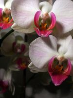 orchid by NicoRobin1989