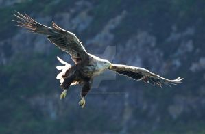 Backlit - White-tailed Eagle by Jamie-MacArthur