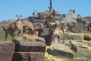 Boat loads of Goats by 14658