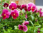 Pink Pansies by Ophelia-Yvaine