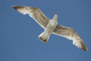 Seagull in flight 5 by CAStock