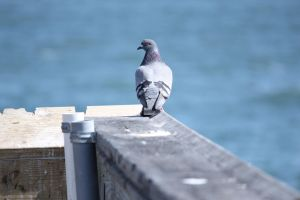 Pigeon on the Pier by demboys18