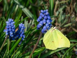 Brimstone and grapes by RavenMontoya