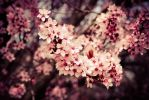 Springcherry by Toastnascher
