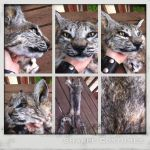 Customizable bobcat soft mout SOLD by Sharpe19