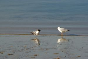 Gull and Tern by FallowpenStock
