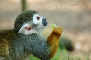 Squirrel monkey by grugster