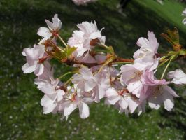 Cherry Blossoms in St. James's by AgtBauer24