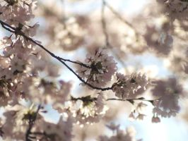 Cherry blossom 2 by pagan-live-style