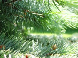 Pine Tree by greenlee4