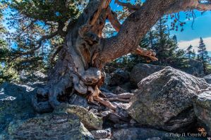 Twisted Pine by pesterle