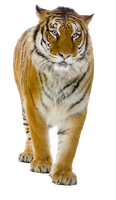 Tiger PNG by LG-Design