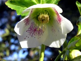 Hellebore by dmguthery