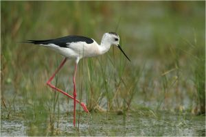 Black-winged stilt by nakitez
