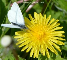 Butterfly On Dandelion by MA-PHOTOGRAPHIC