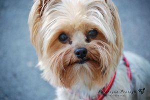 yorkshire terrier by vipkate