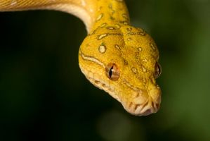 Young green tree python by AngiWallace