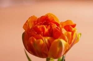 Tulip I by expression-stock