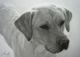 Golden Labrador by Captured-In-Pencil