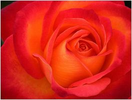 ROSE WITH BABY FACE by THOM-B-FOTO