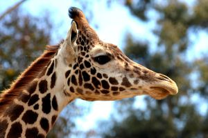 Giraffe Close Up 1. by Draculasbride01