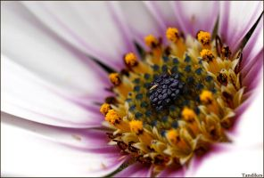 African Daisy by Tandikes