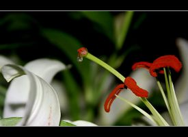 White Passion 2 by gors
