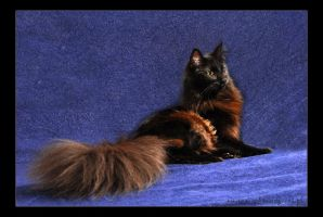 Norwegian Forest Cat9 by fiamen