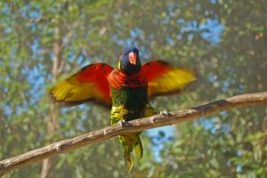 Lorikeet 1 by stevecliff