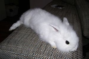 White Light Grey Bunny Soft Mount SOLD by DeerfishTaxidermy