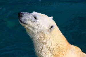 Polar Bear 1 by Sagittor