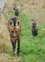 Maned wolf family by jaffa-tamarin
