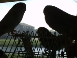 Parakeets in Silhouette by Windthin