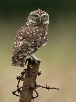 Little Owl by Jamie-MacArthur
