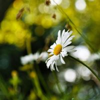 Daisies III by Justysiak
