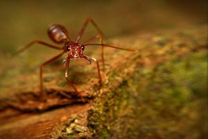Red Ant by josgoh