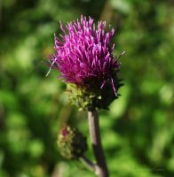 Cirsium helenioides by tjuh